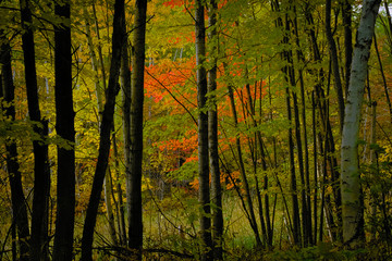 Forest landscape with bright colorful maple folieage visible through tree trunks with shadows
