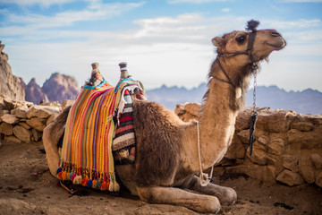 Papiers peints Chameau Camel at the Sinai Mountain in Egypt, south sinai.