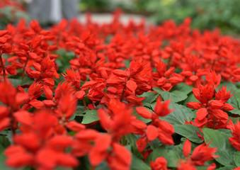 咲き誇る赤い花たち / 花のイメージ