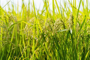 田んぼに生える稲の写真 / 農業