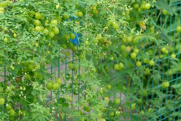フウセンカズラの写真 / 緑化のイメージ