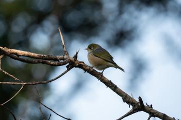 Wax eye bird on a branch 2