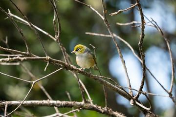 Wax eye bird on a branch