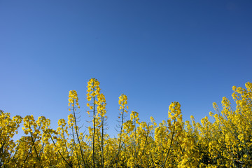 Close up of Canola flowers