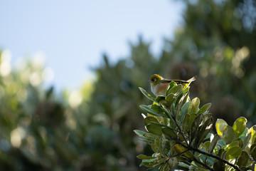 Wax eye bird on a branch 4