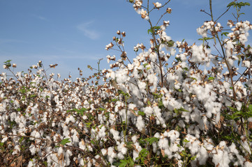 Cotton Fields in picking season