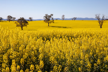 Canola Fields in Country New South Wales, Australia