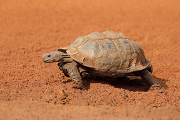 Leopard tortoise (Stigmochelys pardalis) walking, South Africa.