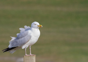 A Herring Gull seabird standing on a wooden ost with isolated background and feathers ruffled in the wind.