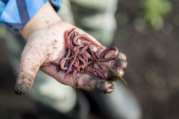 a handful of worms for fishing in the hands