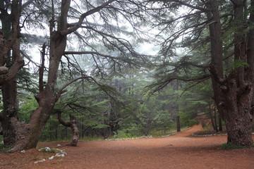 Cedar Forest on a misty day, Lebanon