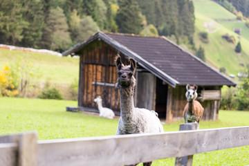 Alpakaherde in den Bergen Österreichs