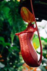 Nepenthes Rafflesiana in botanical garden