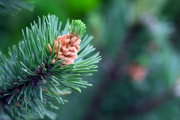 Picture of green spruce leaf in the forest