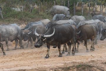 Kambodscha - Wasserbüffel auf der Fahrt von Beng Mealea nach Siem Reap