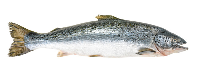 In de dag Vis Salmon fish isolated on white without shadow