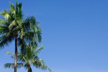 the single Coconut palm trees on blue sky