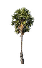 Palm tree isolated on white background,
