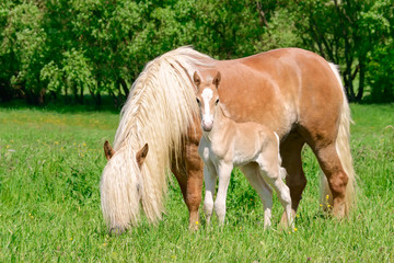 Haflinger horses mare with foal side by side