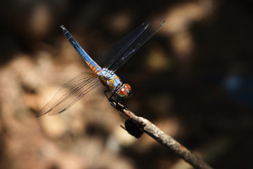 Blue dasher dragonfly with pattern of yellow and orange on the side of the body, Predator insects with transparent wings on a branch with natural black and brown  background