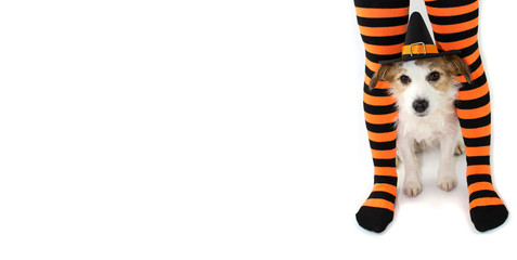 BANNER OF A CUTE HALLOWEEN DOG WEARING A WITCH OR WIZARD HAT SITTING  STRIPED ORANGE AND BLACK SOCKS OR TIGHTS OF ITS CHILD OWNER. ISOLATED AGAINST WHITE BACKGROUND WITH COPY SPACE.