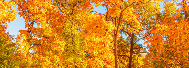 Autumn. Fall scene. Countryside landscape with red and yellow maple leaves, trees and meadow. .