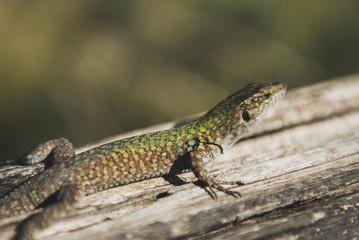 Salamander sicilia
