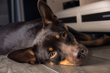 Dog breed Australian Kelpie portrait in an apartment on the laminate