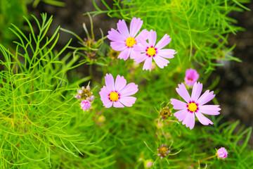 Beautiful pink cosmos flowers