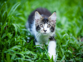 Black white cat walking in garden with green grass, looking up like hunting something. Handsome kitten staring at something in daytime lighting.