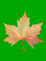One dried maple lief  with a green background for chroma key