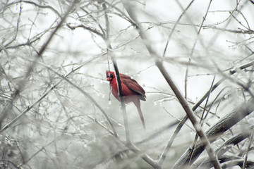 Bright red cardinal in a winter white ice and snow environment for a holiday greeting card