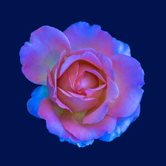 Colorful shimmering fine art still life floral fantasy macro portrait of a single isolated pink colored open rose blossom, blue background,detailed texture,surrealistic vintage painting style
