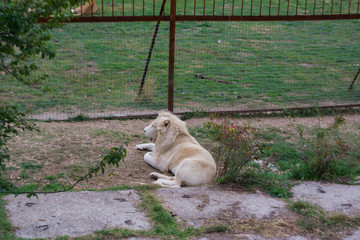White lion lying on the grass on the background of the cell