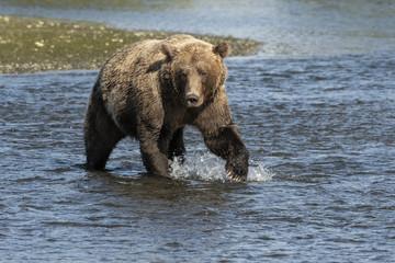 Brown bear fishing for salmon;  Lake Clark NP;   Alaska