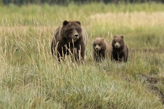 Brown bear mom & cubs in meadow;  Alaska