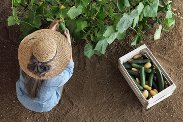 woman farmer working in vegetable garden, collects a cucumber in wodden box, top view isolated on soil