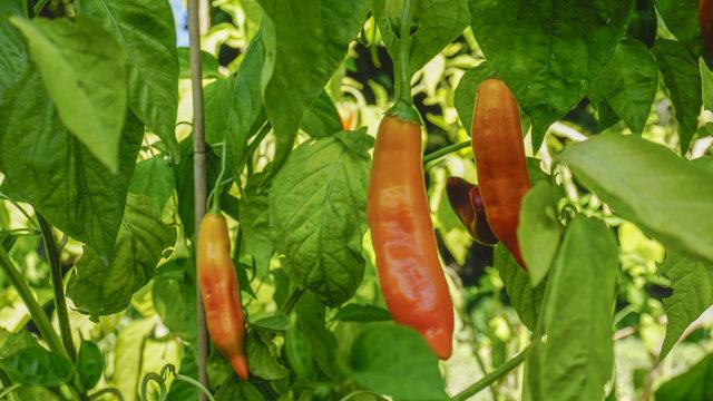 Aji Yellow chili pepper closeup 2.