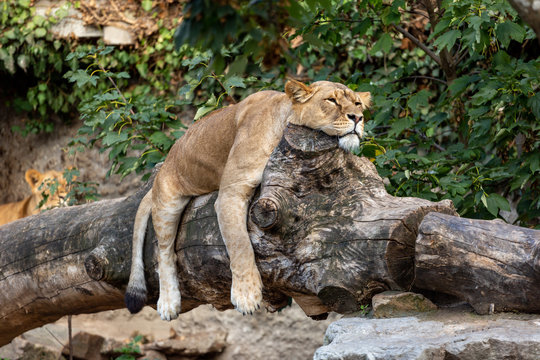 Lioness laying lazy on a fallen tree trunk with its paws hanging beside and head resting on top
