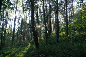 Trees in the forest. Slovakia