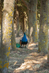 Peacock strolling in between trees.