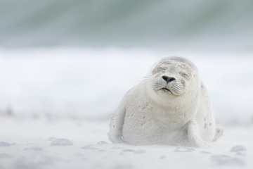Harbour seal pup in white sand on the beach