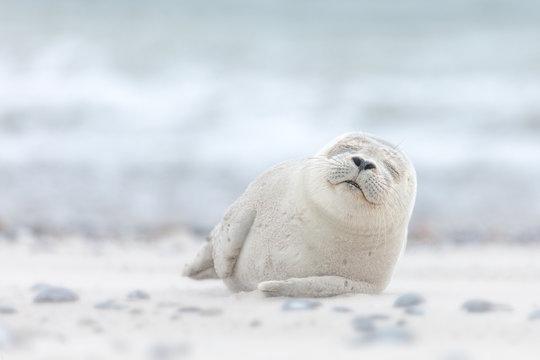 Seal pup sleeping on the beach on Düne island in the Germany