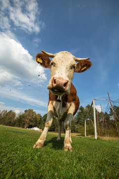Vertical photo of white brown cow