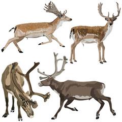 Fallow deers and Reindeers