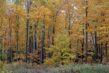 Beautiful Golden Autumn Forest in Upper Peninsula of Michigan
