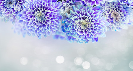 fresh blue chrysanthemum flowers border on gray background banner with light beams