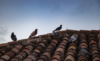 Group of pigeons of different colors on a roof