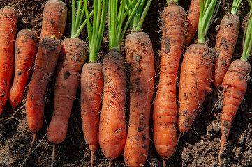Large carrots with green tops dug out of ground collected on their own plot. Traditions of ecological nutrition, vegan, healthy nutrition, respect for nature. South Russian Farm, Volgograd Region