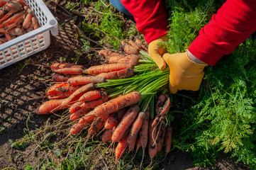 Happy women farmers dig up and put carrots gathered in box in their own area. Traditions of ecological nutrition, vegan, healthy nutrition, respect for nature. Hand close up